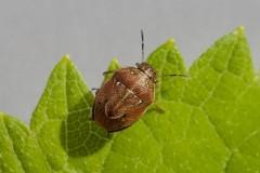 Neottiglossa pusilla - Small Grass Shieldbug, Woodside Nurseries, Austerfield