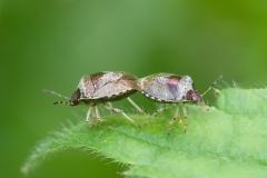 Eysarcoris venustissimus - Woundwort Shieldbug, Danes Hill NR