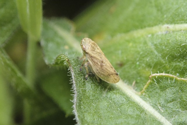 Meadow Spittlebug, Philaenus spumarius,
