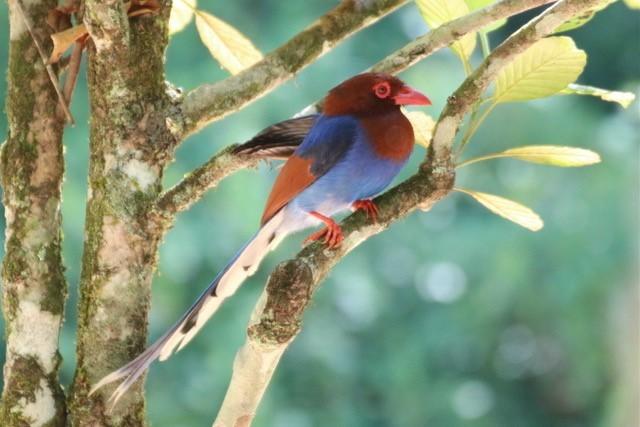 Blue Magpie, Sri Lanka