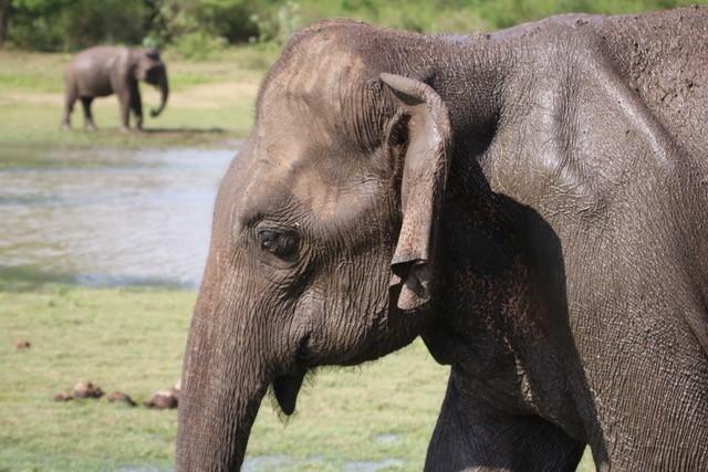Indian Elephant, Sri Lanka