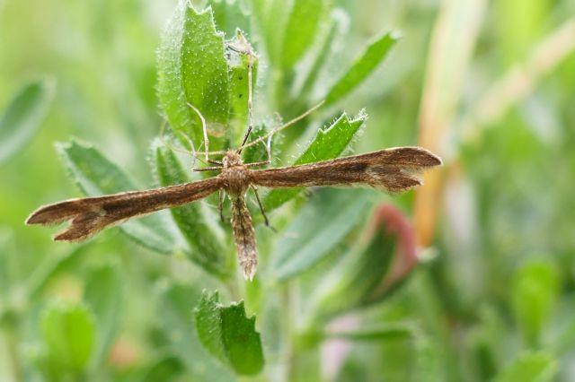 Crescent Plume Moth, Marasmarcha lunaedactyla,
