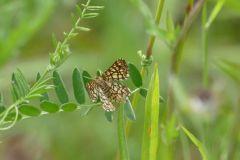 Heath moth, Chiasmia clathrata