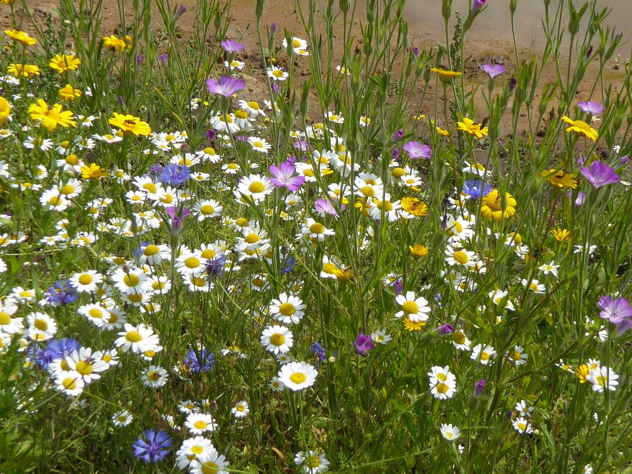 Colourful Wild Flowers at Three Haggs Wood