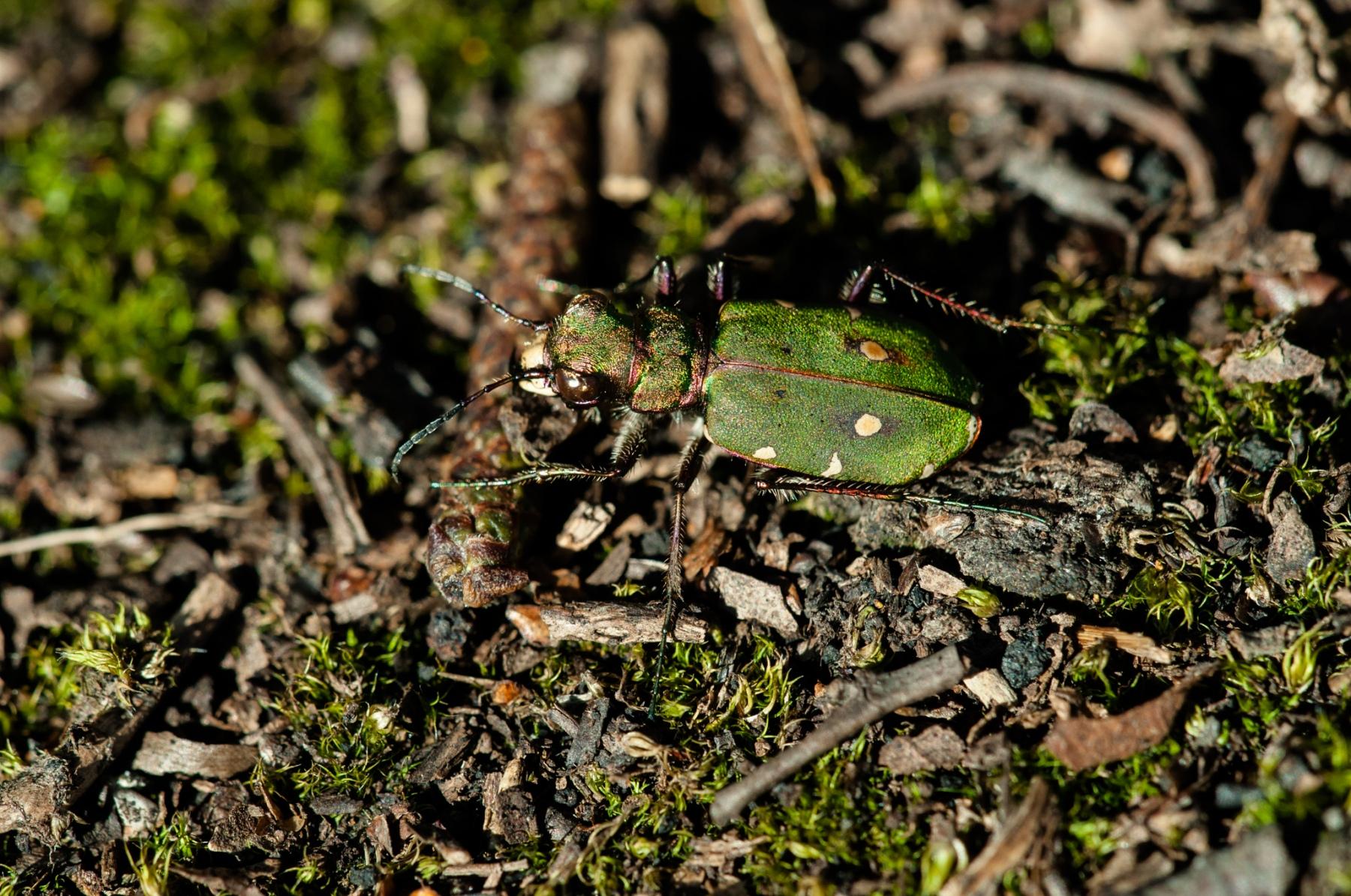 Cicindella campestris - Green Tiger Beetle, Hatfield