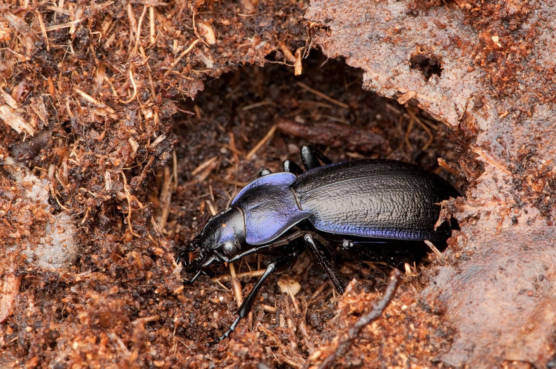 Carabus violaceus - Violet Ground Beetle, Sherwood Forest