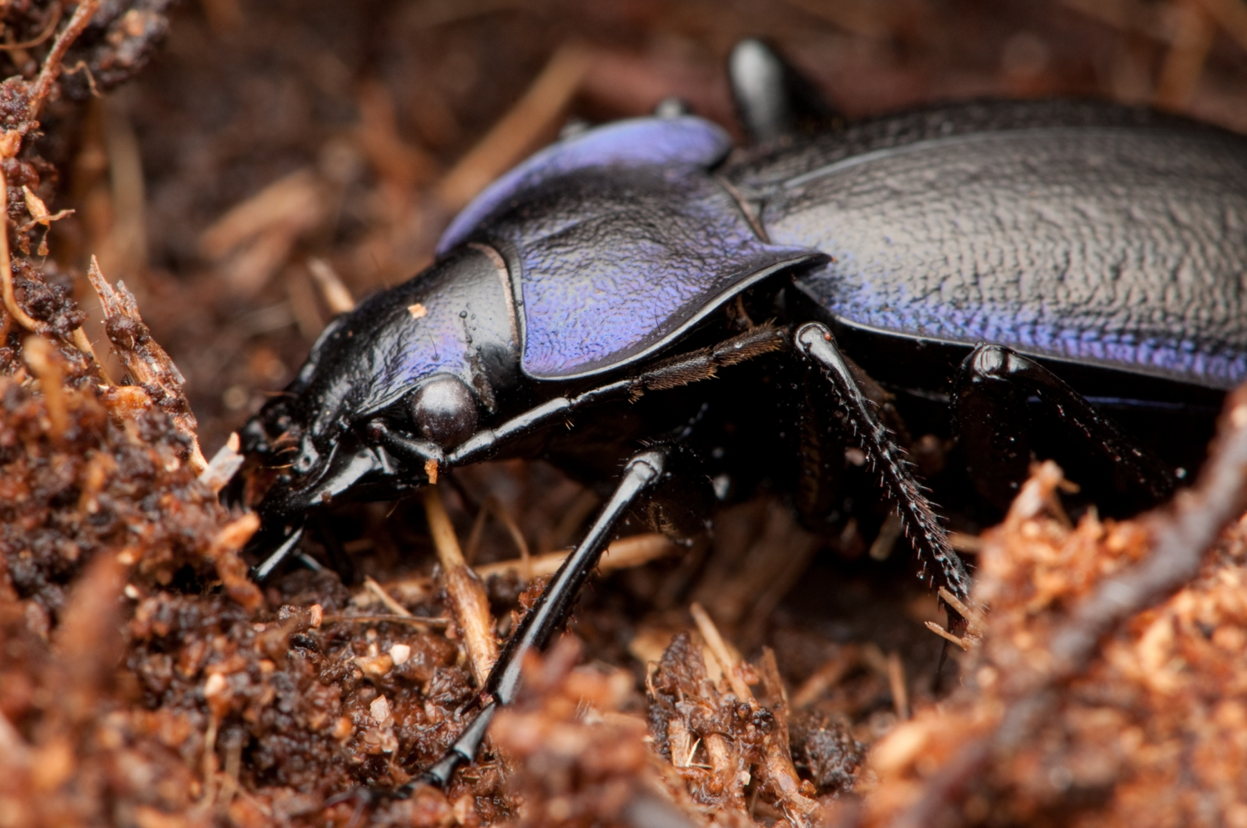 Carabus violaceus - Violet Ground Beetle, Sherwood Forest