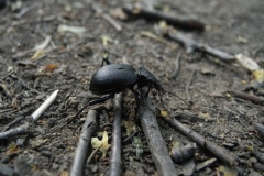 Cychrus caraboides - Snail Eating Ground Beetle, Lindrick Common