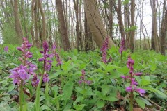 Early Purple Orchids in Woodland