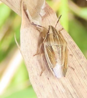 Bishop's Mitre (Aelia acuminata), RSPB St. Aidan's .