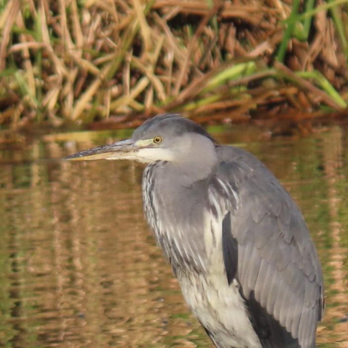 Grey Heron (Ardea cinerea), Denaby Ings.