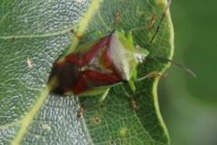 Birch Shieldbug (XElasmostethus interstinctus), Howell Wood.
