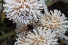 Burdock burrs turned into tree baubles