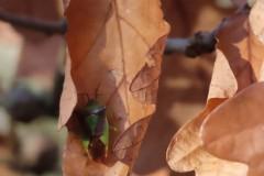 Hawthorn Shieldbug.