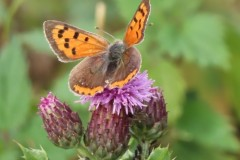 Small Copper (Lycaena phlaeas),. Clumber Park.
