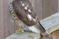 Sparrowhawk (Accipiter nisus).