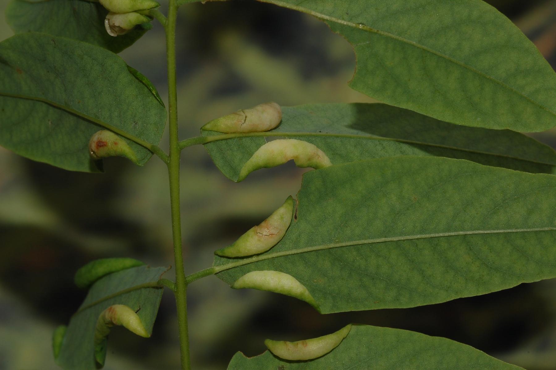 Obolodiplosis robiniae Robinia 2 pseudoacacia