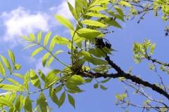 Ash (Fraxinus excelsior), Grove Park, Doncaster
