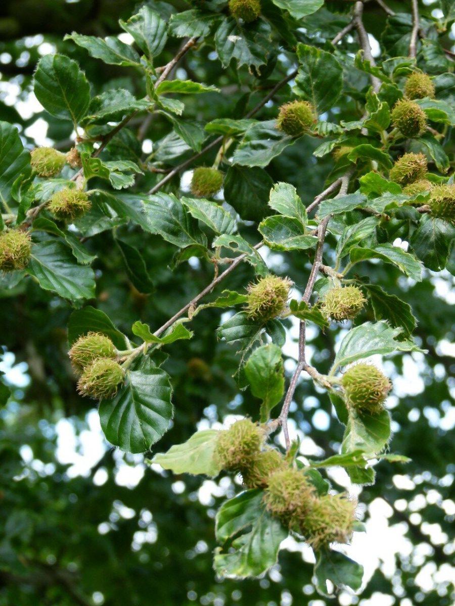 Beech (Fagus sylvatica), Sandal Beat Wood, Doncaster