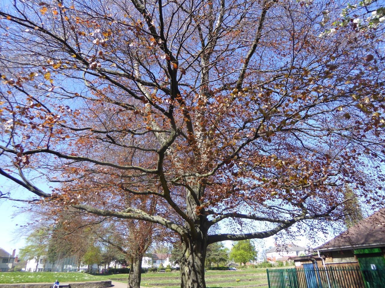 Copper Beech (Fagus sylvatica f purpurea), Grove Park, Doncaster