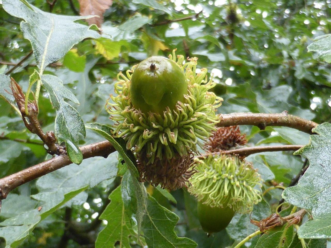 Turkey Oak (Quercus cerris), Blaxton, Doncaster.