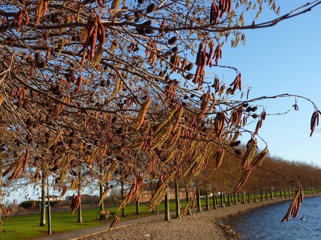 Italian Alder (Alnus cordata), Lakeside, Doncaster