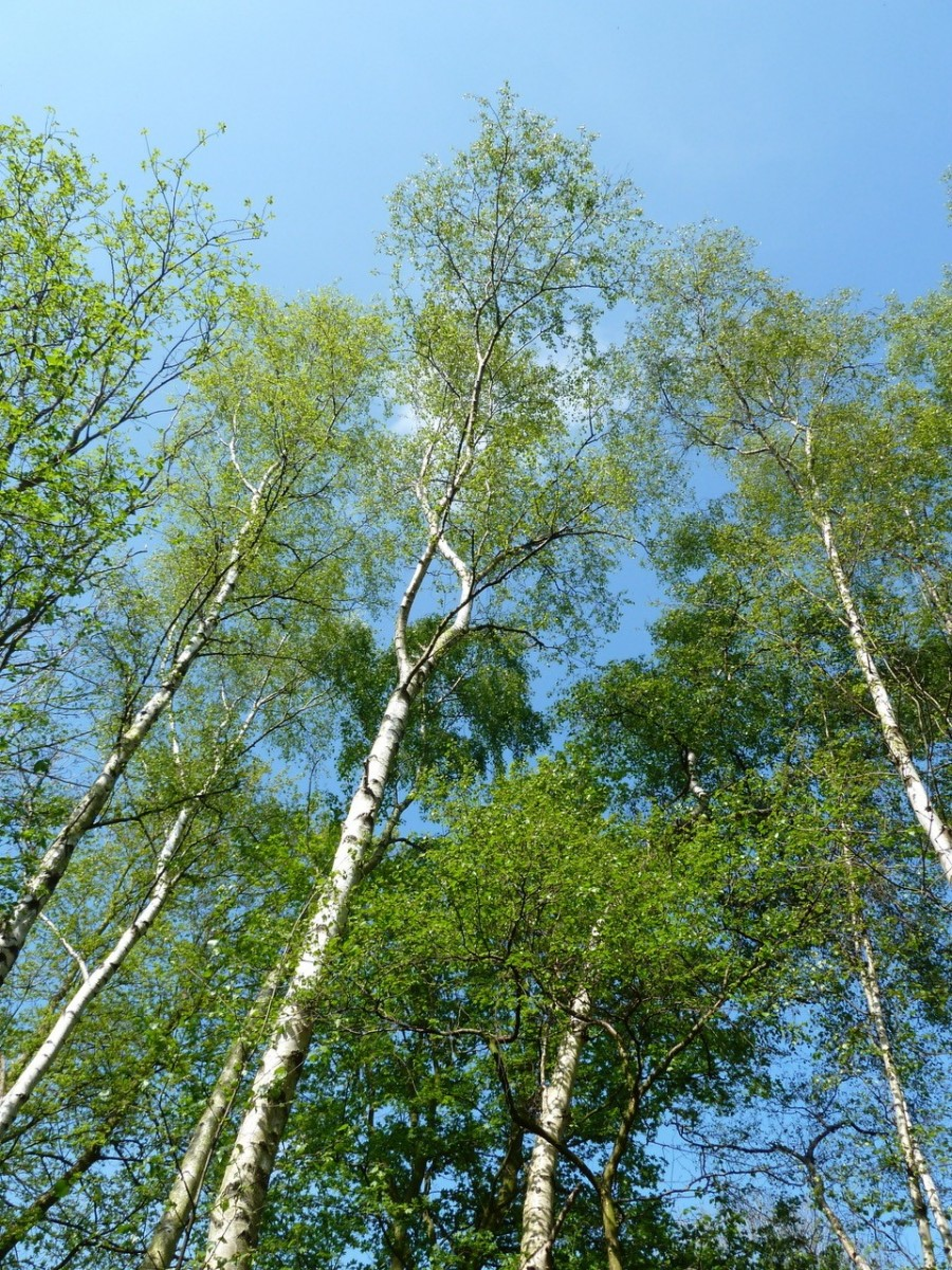 Silver Birch (Betula pendula), Potteric Carr, Doncaster