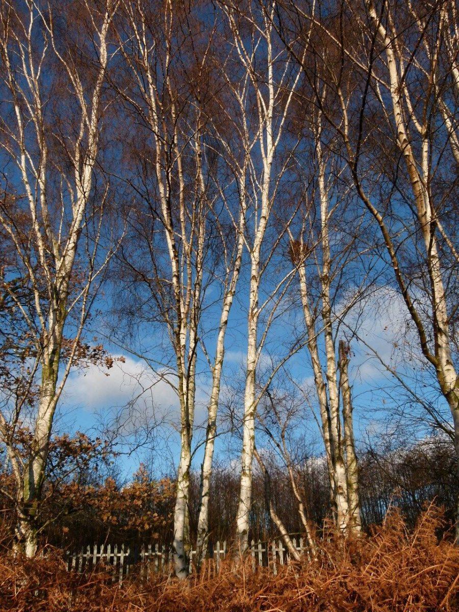 Silver Birch (Betula pendula), Sandal Beat Wood, Doncaster