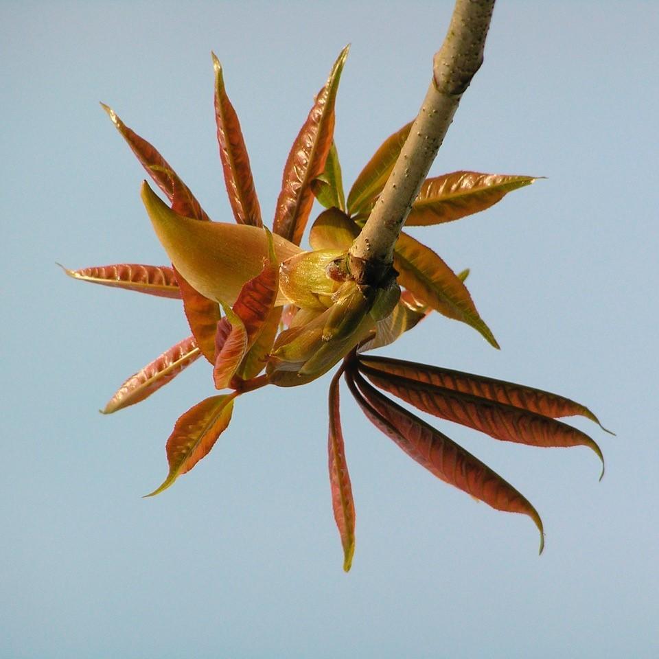 Horse Chestnut (Aesculus hippocastanum), Bamford, Derbyshire