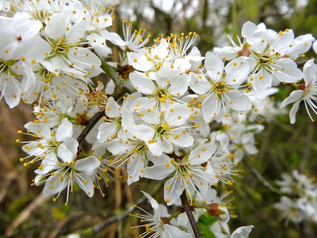 Blackthorn (Prunus spinosa),