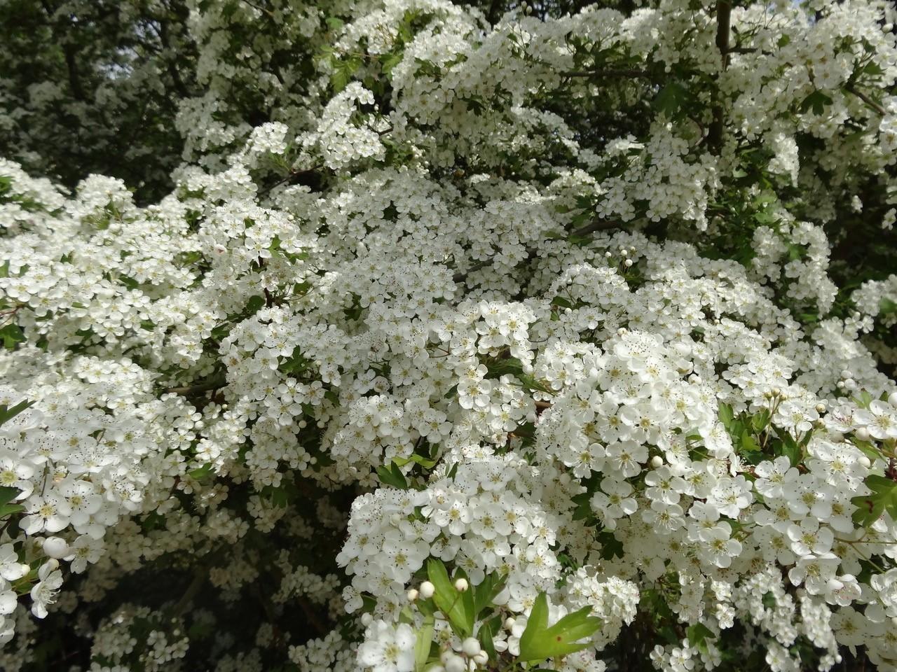 Hawthorn (Crataegus laevigata), Old Moor