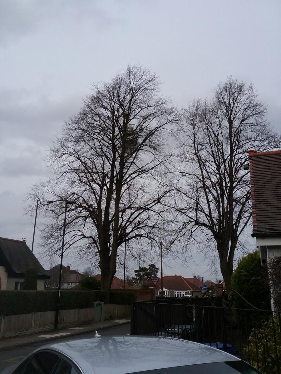 Mistletoe (Viscum album), near Bawtry Road, Doncaster.