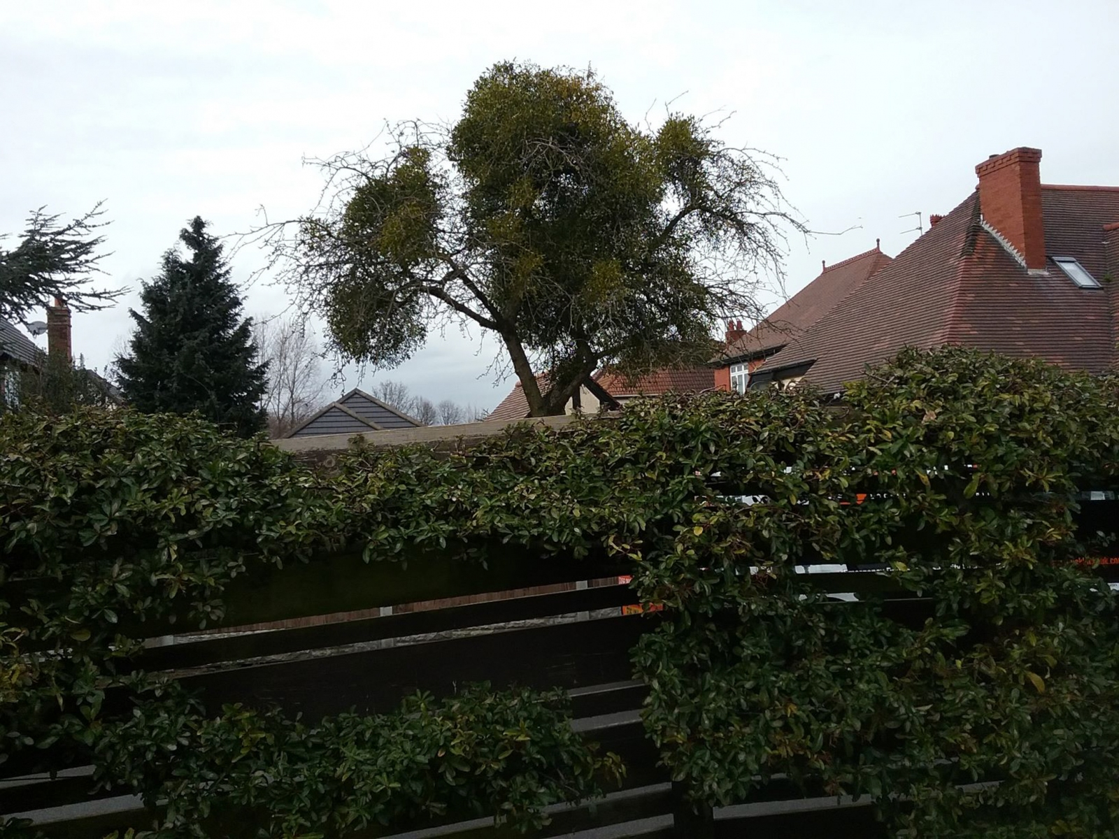 Mistletoe (Viscum album), near Bawtry Road, Doncaster