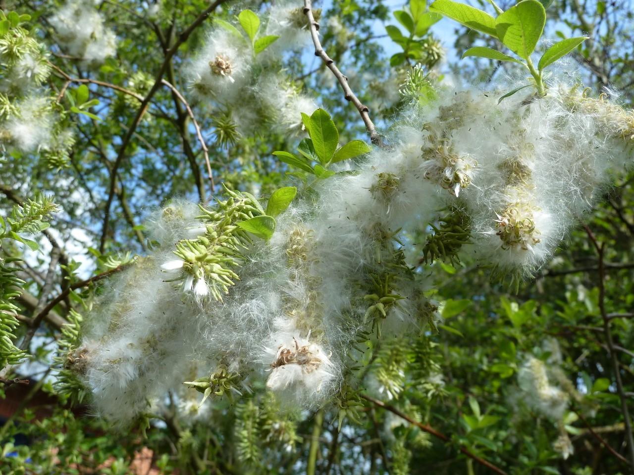 Goat Willow (Salix caprea), Doncaster