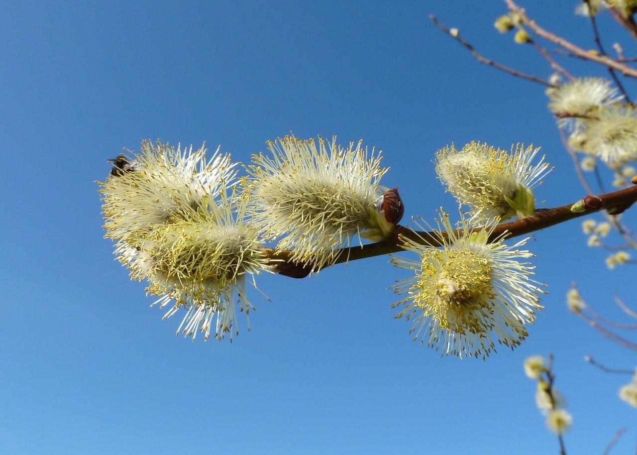 Goat Willow (Salix caprea), Old Moor