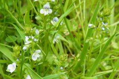 Thyme-leaved Speedwell (Veronica serpyllifolia), Finningley.