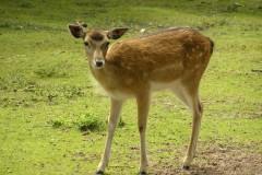 Fallow Deer (Dama dama), Wetlands Animal Park, Retford