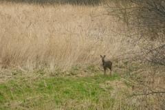 Roe deer (Capreolus capreolus), Potteric Carr.