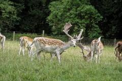 Fallow Deer  (Dama dama), Castle Howard.