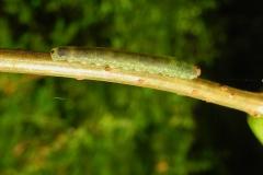 Unkown Catterpillar