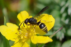 Possibly Ancistrocerus trifasciatus, Potter Wasp, Thorne Moor