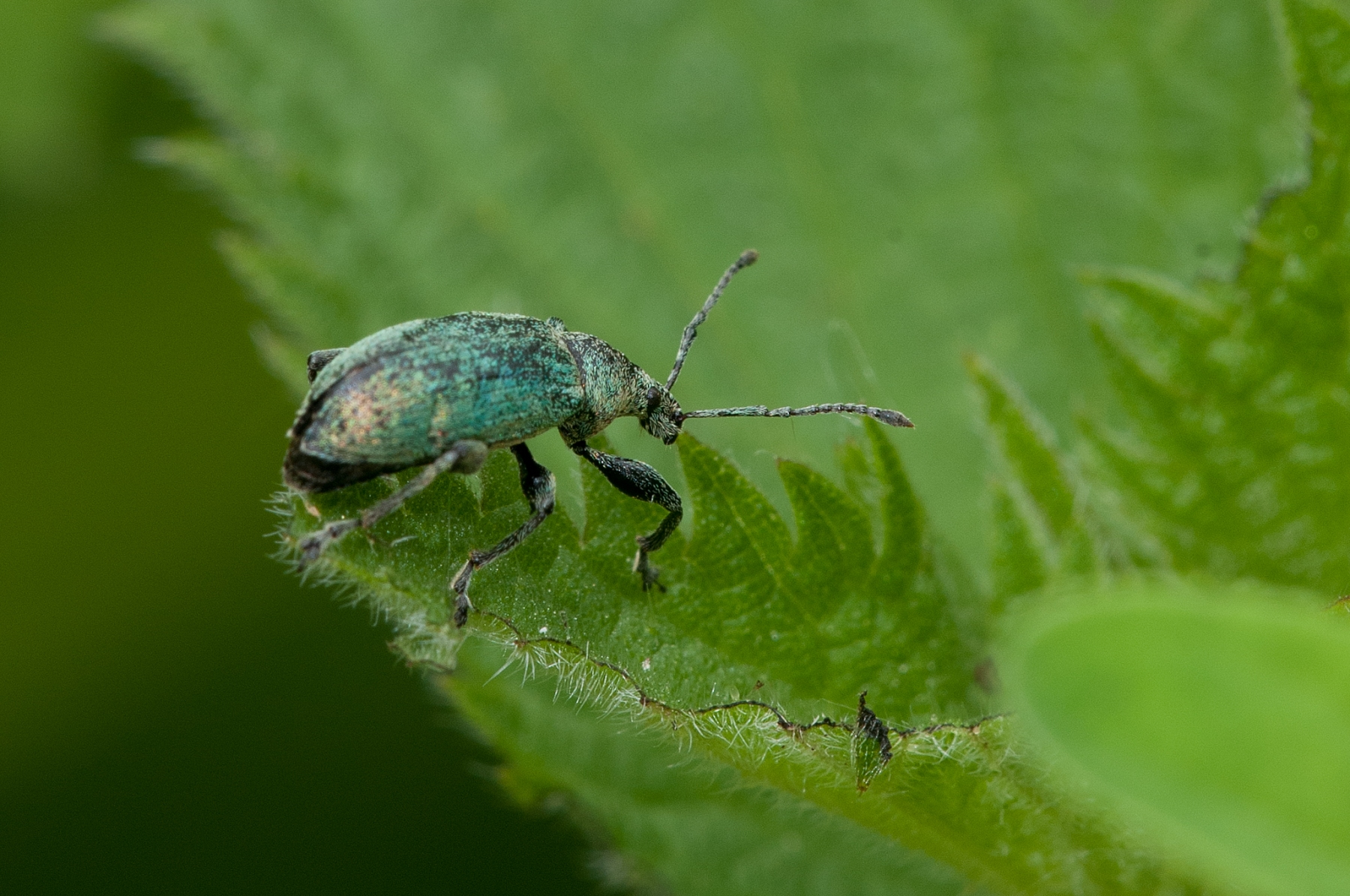 Phyllobius pomaceus -  Nettle Weevil, Anston Stones Wood