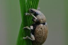 Otiorhynchus sp. Whitwell Wood
