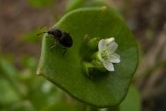 Otiorhynchus sulcatus - Black Vine Weevil, Barrow Hills NR