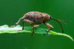 Curculio nucum - Nut Weevil, Lound