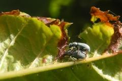 Phyllobius pomaceus -  Nettle Weevil, Anston Stones Wood