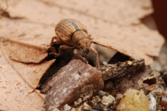 Polydrusus mollis, Clumber Park